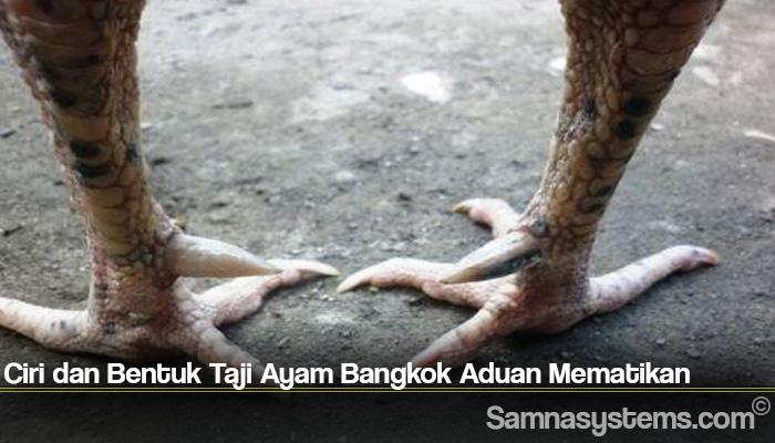Ciri dan Bentuk Taji Ayam Bangkok Aduan Mematikan