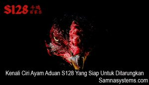 Kenali Ciri Ayam Aduan S128 Yang Siap Untuk Ditarungkan