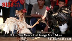 Solusi Cara Memperkuat Tenaga Ayam Aduan