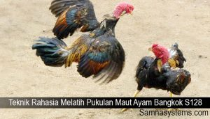 Teknik Rahasia Melatih Pukulan Maut Ayam Bangkok S128
