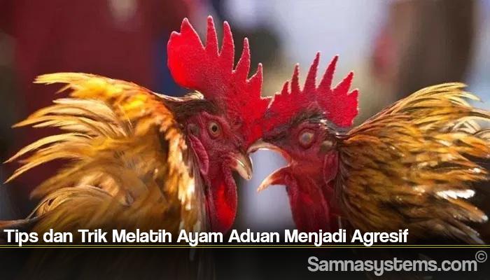 Tips dan Trik Melatih Ayam Aduan Menjadi Agresif